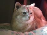 Chat Miss -  Femelle (4 ans)