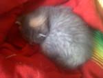 Chat Hestia -  Femelle (0 mois)
