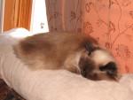 Chat Cibelle(maman de bicky) -  Femelle (5 ans)