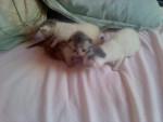 Chat Les 3 mousquetaires -  Femelle (0 mois)
