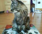 Chat Frimousse -  Femelle (3 ans)