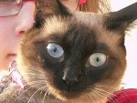 Chat canelle -  Femelle (2 mois)