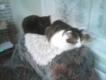 Chat Tigrou -  Mâle (4 ans)