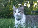 Chat Shiloh -  Femelle (2 ans)