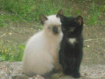 Chat Farinouille -   (2 mois)