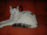 Chat nougat, l\'angora tout doux ! -   (0 mois)