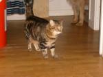Chat Misty la terreur des chiens !!! -   (0 mois)