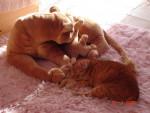 Chat Namour -  Femelle (0 mois)
