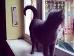 Chat Bastet la chartreuse lol -   (0 mois)