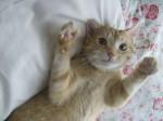 Chat Binou  chat domestique -   (0 mois)