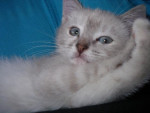 Chat Caya -   (0 mois)