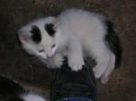 Chat petit ange -   (0 mois)