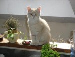 Chat British Shorthair  - Cameo-Cédille -   ()