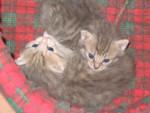 Chat Frère et soeur -   (0 mois)