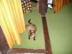 Chat Achoka le tonkinoi -   (0 mois)