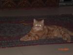 Chat Bali l\'Exotic Shorthair -   (0 mois)