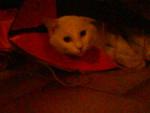 Chat Léo, chat croisé -   (0 mois)