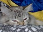 Chat tya  mélange de 2 raçes -   (0 mois)