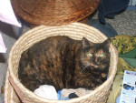 Chat CALINE (Ecaille tortue) -   (0 mois)