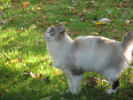 Chat automne au pont-guern 068.jpg -  Femelle (0 mois)