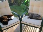 Chat yume et étoile, croise angora -   (0 mois)