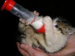 Chat chat de ferme -   (0 mois)