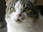 Chat olive -   (0 mois)