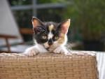 Chat Chat de goutière, Hamsterix -   (0 mois)