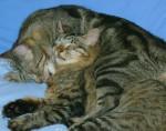 Chat Billy et Tigrou -   (0 mois)