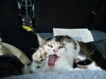Chat chatte de gouttière pure race- Princess Pwo -   (0 mois)