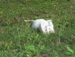 Chat hermine la plus belle -   (0 mois)