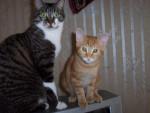 Chat ranma et baudelaire -   (0 mois)