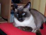 Chat siamois torfine -   (0 mois)