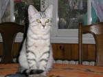 Chat Chrystal Européen ( Mère Persane ) -   (0 mois)