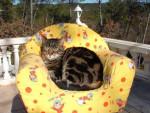 Chat chat de goutière MINOU -   (0 mois)