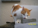 Chat Timon/chat superbe -   (0 mois)