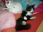 Chat césar et apophys -   (0 mois)