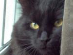 Chat Chat domestique à poils longs Lestat -   (0 mois)