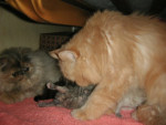 Chat dahka ; les bébés et canel -   (0 mois)
