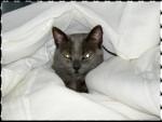 Chat Cléopatre dite Cléo -   (0 mois)