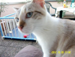 Chat Tootsie sur mes genoux -   (0 mois)