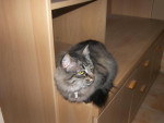 Chat MAINECOON OPHELIE -   (0 mois)
