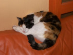 Chat ISABELLE TRICOLORE     KIRA -   (0 mois)