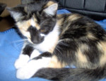 Chat MIMIE -   (0 mois)