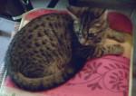 Chat Croquette -   (0 mois)
