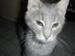 Chat Roméo-Siamois -   (0 mois)