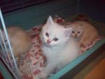 Chat british shorthair romeo -   (0 mois)