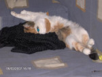 Chat Mimine -  Femelle (0 mois)