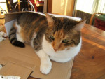 Chat cacahouette -   (0 mois)