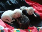 Chat Les chatons de Noizette -   (0 mois)